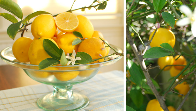 Post image for Meyer Lemon Giveaway Winner and Garden Update